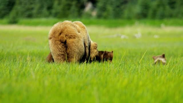 brown female bear with cubs feeding alaska usa - bear cub stock videos and b-roll footage
