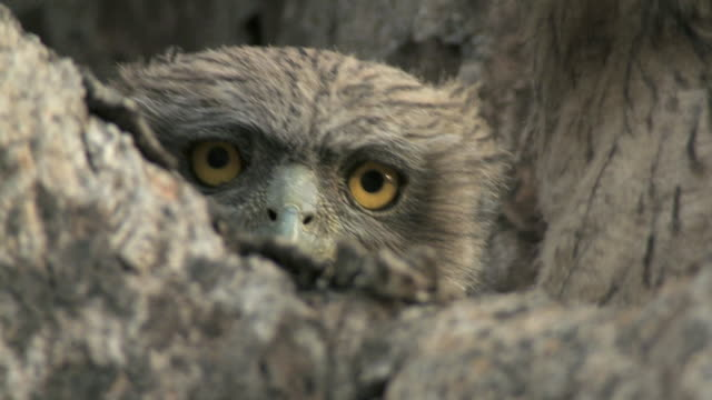 cu brown fish owl chick (bubo zeylonensis or ketupa zeylonensis) on tree / madhya pradesh, india - 隠れる点の映像素材/bロール