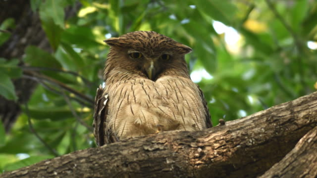 brown fish owl perched on a tree branch - beak stock videos & royalty-free footage