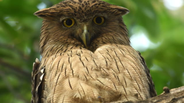 brown fish owl perched on a tree branch - one animal stock videos & royalty-free footage