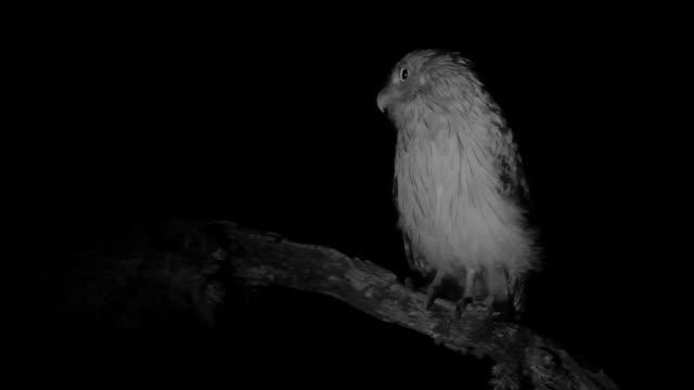 brown fish owl screeches in tree, sri lanka. - sri lanka stock videos & royalty-free footage