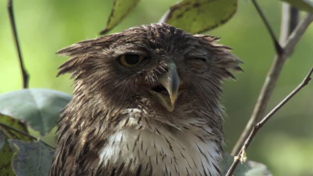 stockvideo's en b-roll-footage met cu brown fish owl (bubo zeylonensis or ketupa zeylonensis) sleeping on tree / madhya pradesh, india - meer dan 40 seconden