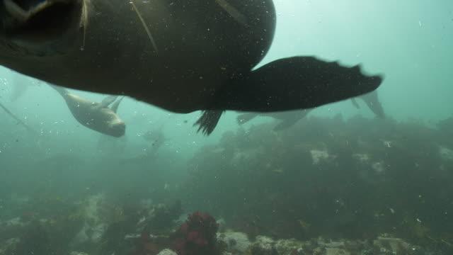 brown fur seal group playing and biting camera - kelp stock videos & royalty-free footage