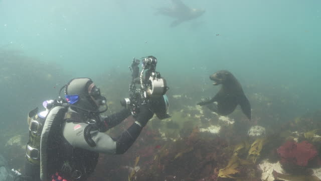 Brown Fur Seals attacking camera and diving