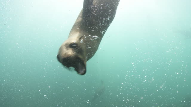 Brown Fur Seals attacking camera