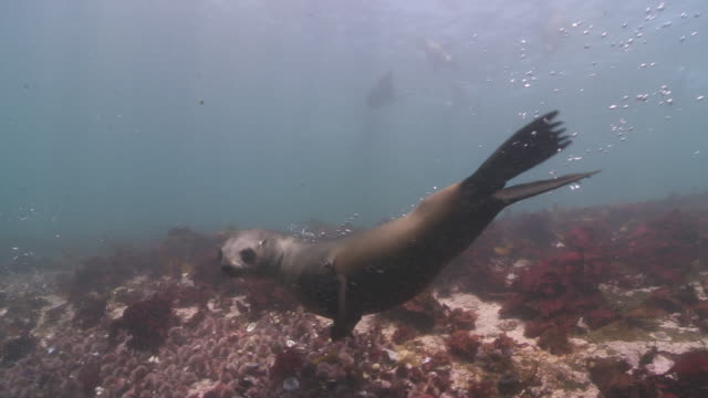 brown fur seals group playing underwater at camera - cape fur seal stock videos & royalty-free footage