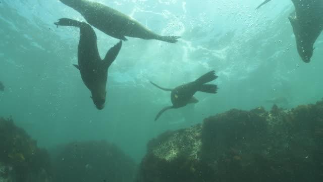 brown fur seals group playing underwater - ミナミオットセイ点の映像素材/bロール