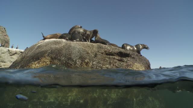 vídeos y material grabado en eventos de stock de brown fur seals jumping in and out of water - foca peluda del cabo