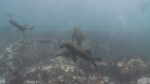brown fur seals large group playing underwater - cape fur seal stock videos & royalty-free footage