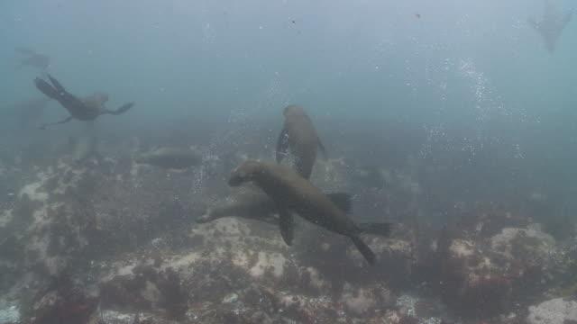 brown fur seals large group playing underwater - ミナミオットセイ点の映像素材/bロール