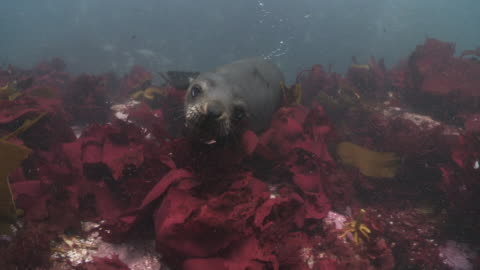 brown fur seals looking at camera in kelp. - cape fur seal stock videos & royalty-free footage