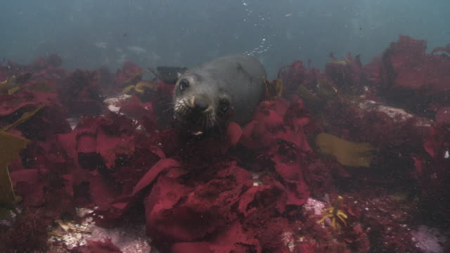 Brown Fur Seals looking at camera in kelp.