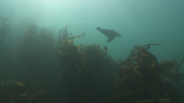 brown fur seals playing at camera in kelp forest - kelp stock videos & royalty-free footage