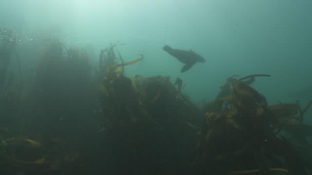 stockvideo's en b-roll-footage met brown fur seals playing at camera in kelp forest - kelp