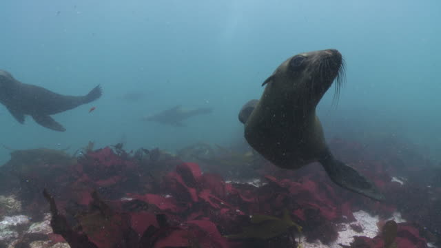 vídeos y material grabado en eventos de stock de brown fur seals playing at camera underwater - quelpo