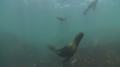 brown fur seals playing underwater at camera - cape fur seal stock videos & royalty-free footage