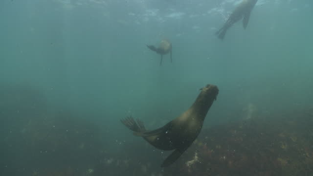 brown fur seals playing underwater at camera - kelp stock videos & royalty-free footage