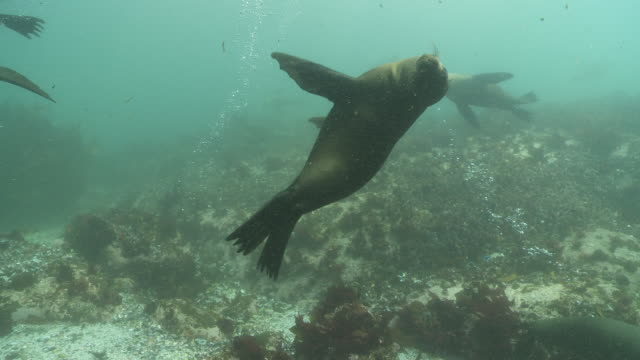 Brown Fur Seals playing underwater close to camera