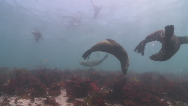 brown fur seals playing underwater looking at camera, one bites another - seals stock videos and b-roll footage