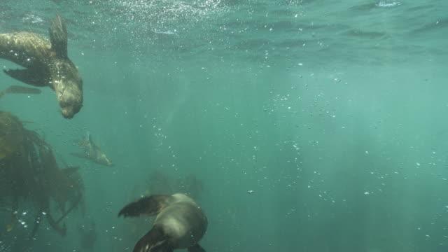 brown fur seals playing underwater - kelp stock videos & royalty-free footage