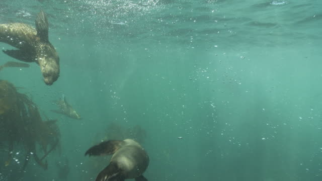 brown fur seals playing underwater - cape fur seal stock videos & royalty-free footage