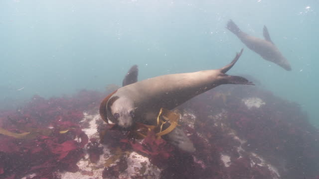 Brown Fur Seals playing with piece of kelp, offer it to camera