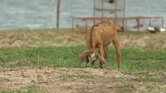 brown goat eating grass by the sea. - one animal stock videos & royalty-free footage