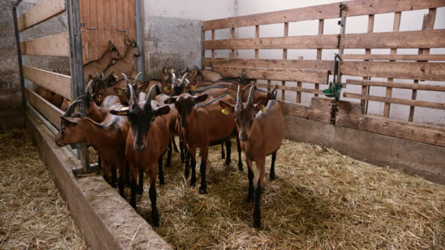 brown goats walking in their barn - livestock tag stock videos and b-roll footage