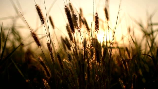 brauner rasen mit sonnenuntergang im wind - klammer stock-videos und b-roll-filmmaterial