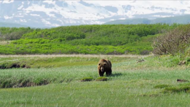 brown grizzly bear hunting national park reserve alaska - alaska stato usa video stock e b–roll