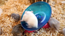 A brown hamster runs on blue wheel, stops to look in camera and continues to run.