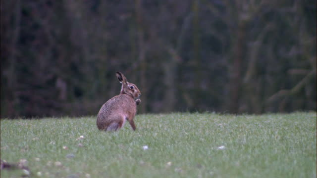 brown hare (lepus europaeus) grooms in field at dawn, norfolk, uk - animals in the wild stock videos & royalty-free footage