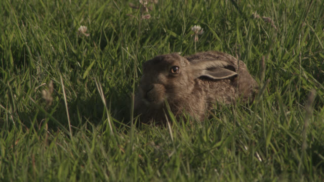 Brown hare (Lepus europaeus) rests in disused airfield, Essex, England