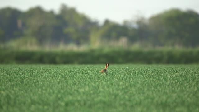 brown hare runs away in wheat field, uk - consapevolezza video stock e b–roll