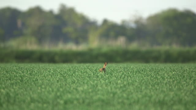 brown hare runs away in wheat field, uk - allerta video stock e b–roll