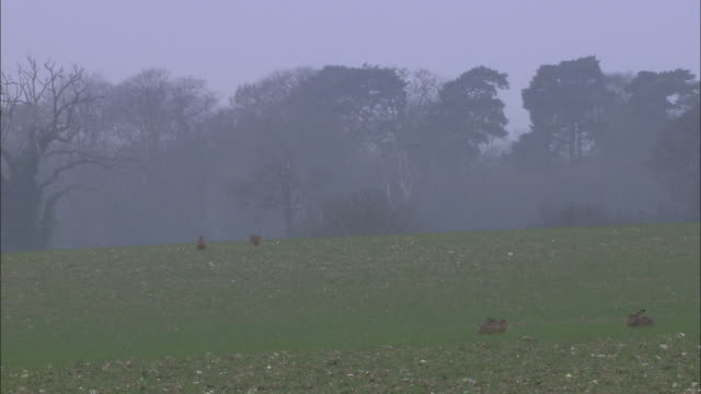 Brown hares (Lepus europaeus) in field, Norfolk, UK