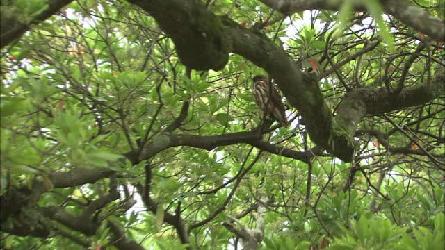 a brown hawk owl perches in a tree. - var bildbanksvideor och videomaterial från bakom kulisserna