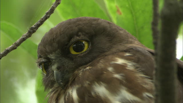 a brown hawk owl preens as it perches in a tree. - brown stock videos & royalty-free footage