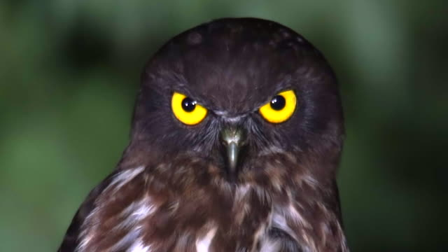 vídeos de stock, filmes e b-roll de a brown hawk-owl's head and eyes in the forest - olho de animal