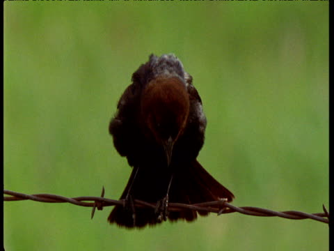 brown headed cowbird calls and displays on wire fence, montana - chainlink fence stock videos and b-roll footage