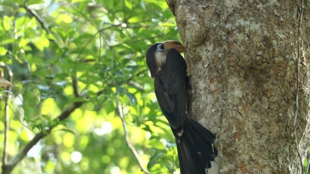 自然の中で赤ちゃんの鳥を餌の母ブラウン サイチョウ (anorrhinus austeni) - 見渡す点の映像素材/bロール