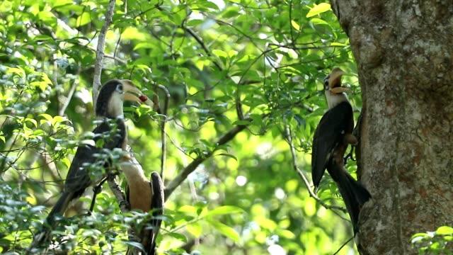 Brown Hornbill (Anorrhinus austeni) in the nature , Mother feeding baby birds