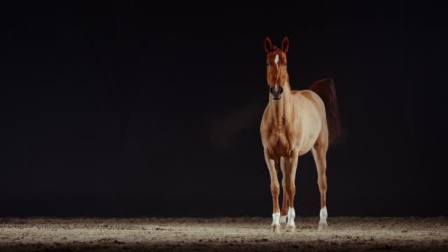 slo mo brown pferd stehend und defecating in reithalle - stehen stock-videos und b-roll-filmmaterial