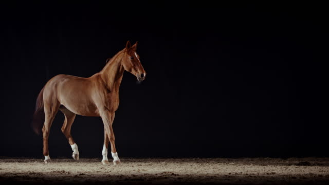 slo mo brown horse standing in the riding hall at night - brown stock videos & royalty-free footage