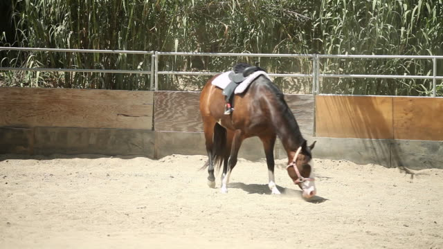 vidéos et rushes de ws pan brown horse with saddle walking around enclosure / los angeles, ca, united states - animaux au travail