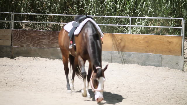 vidéos et rushes de ws pan td tu brown horse with saddle walking around enclosure / los angeles, ca, united states - animaux au travail