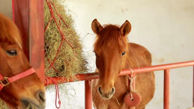 brown horses eating hay in stable