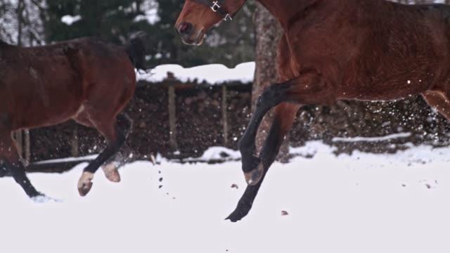bruna hästar att köra i snörik vinter betesmark, slow super motion - galoppera bildbanksvideor och videomaterial från bakom kulisserna