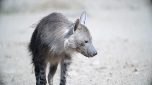 ms brown hyena (hyaena brunnea) looking around and start walking / kgalagadi transfrontier park/ kgalagadi district/ botswana - brown stock videos and b-roll footage
