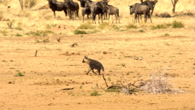 brown hyena (Hyaena brunnea) running in dry savannah